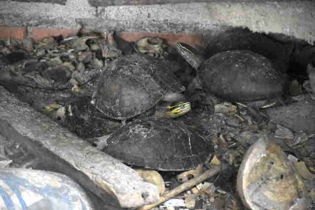Turtles saved from temple in Thailand