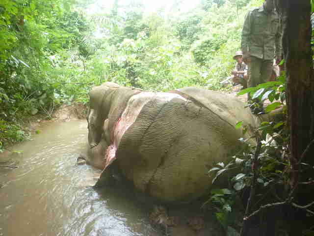 Elephant victimized by skin trade