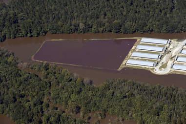 Flooded pig farm