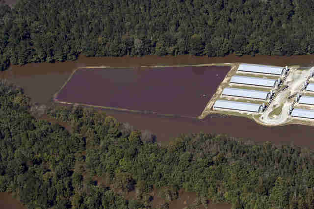 Flooded pig farm