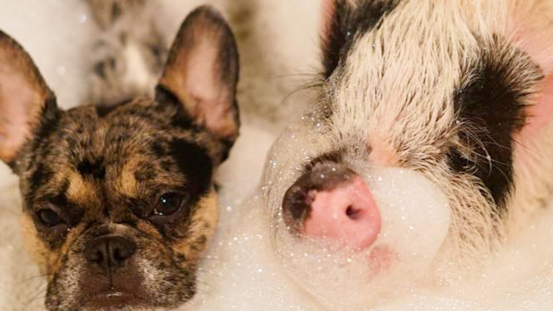 Dog And Pig Are The Cutest, Closest Brothers Ever