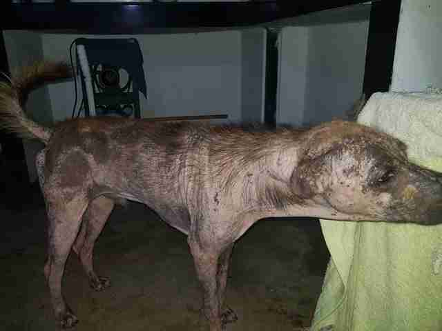 Dog with severe case of mange
