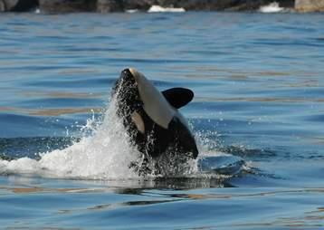 Wild orca Scarlet presumed dead after illness