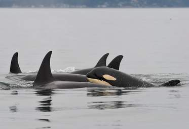Scarlet, wild orca presumed dead, formerly swimming with family