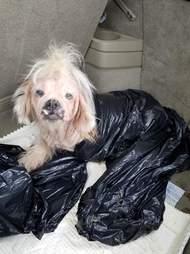 Hairless shih tzu in plastic bag