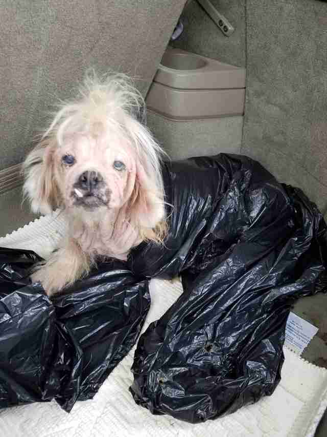 Hairless shih tzu in plastic bag