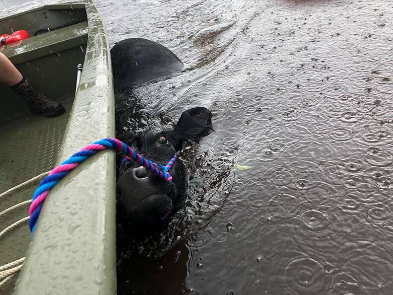 Cow being pulled by boat through floodwaters