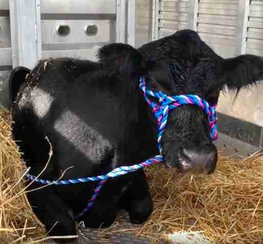 Rescued cow lying on straw in trailer