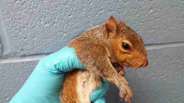 Squirrel free of her siblings recuperating