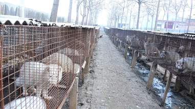 Animals in cages at fur farm