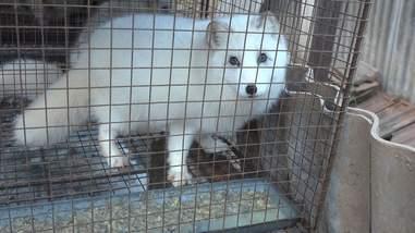 Animal in cage at fur farm