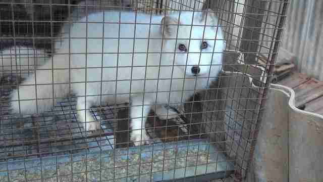 Animal in cage at fur farm