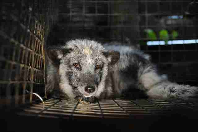 Scared animal in cage at fur farm