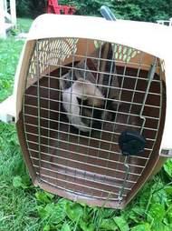 Stray Siamese cat