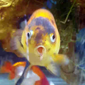 Oranda goldfish goes to vet
