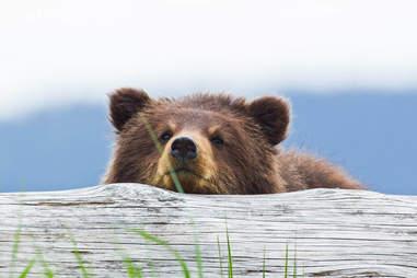Brown Bear Cub in Admiralty Island, Southeast Alaska