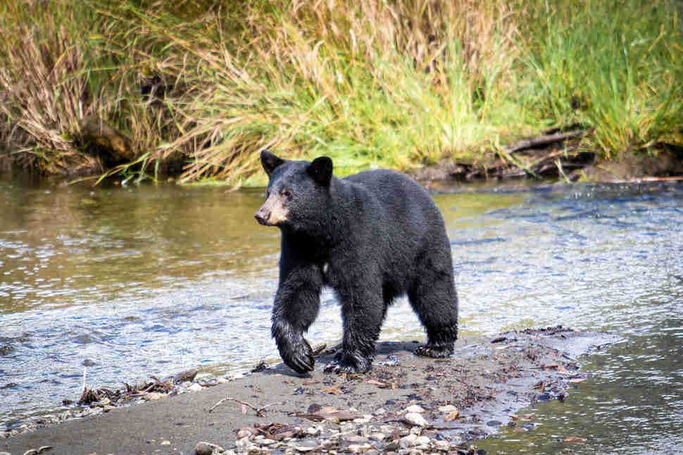 A Black Bear wanders through Steep Creek