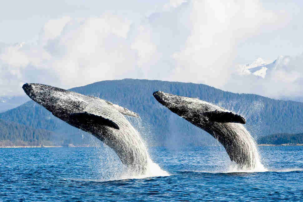 Two Humpback Whales Breach From The Waters Of Lynn Canal