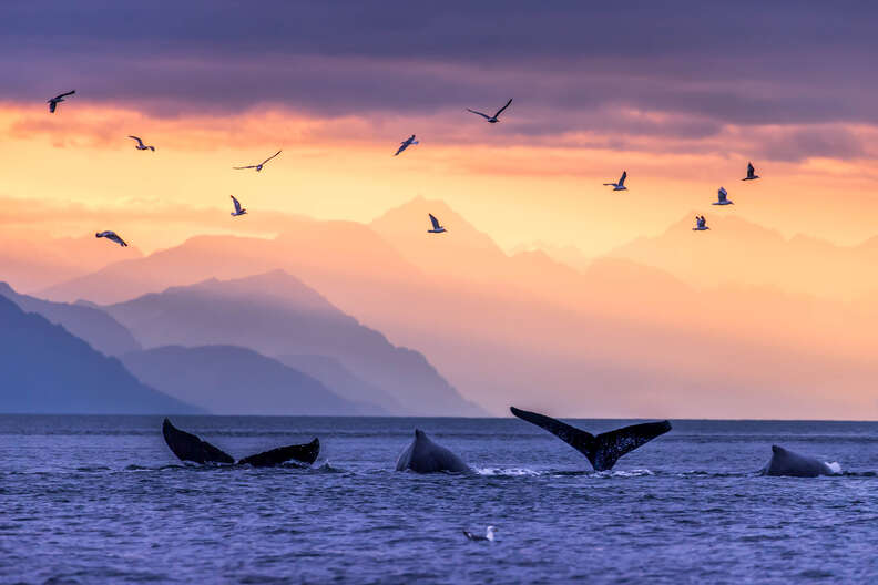 Humpback whale tales in front of the Chilkat Mountains