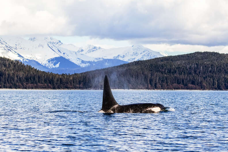 Whale surfacing in Lynn Canal