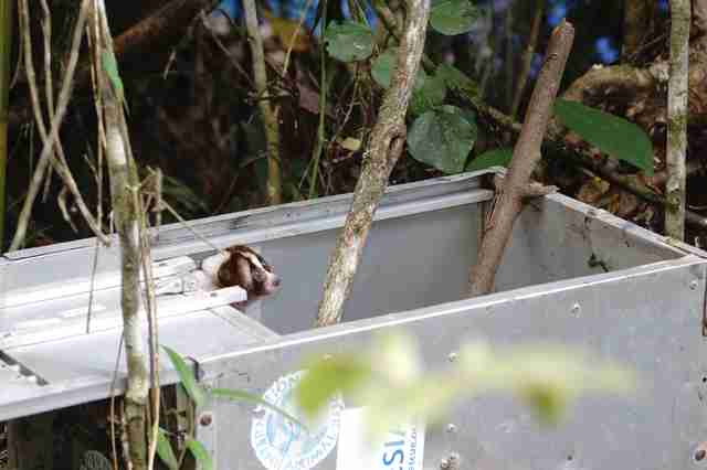 Slow loris peeking out of transport carrier