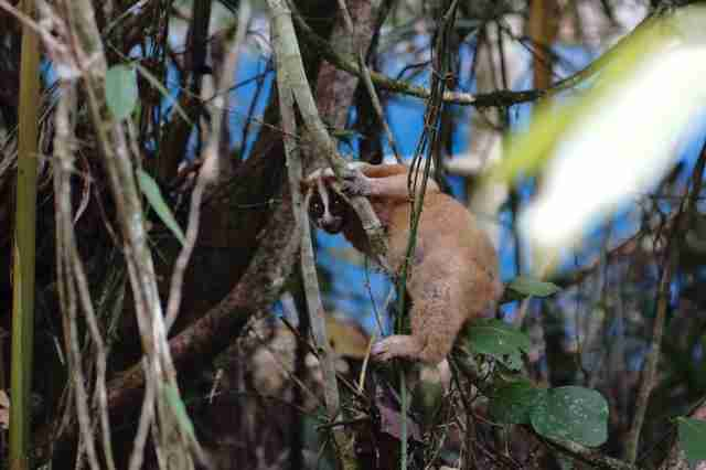 Rescued slow loris climbing on tree