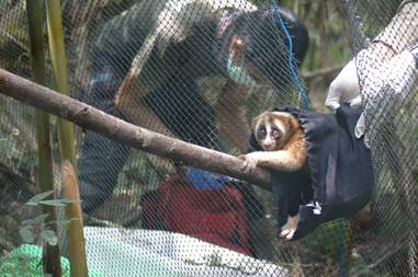 REscuers helping slow loris get back into the wild