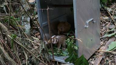 Slow lorises emerging from cage