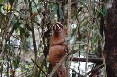 Rescued slow loris climbing tree