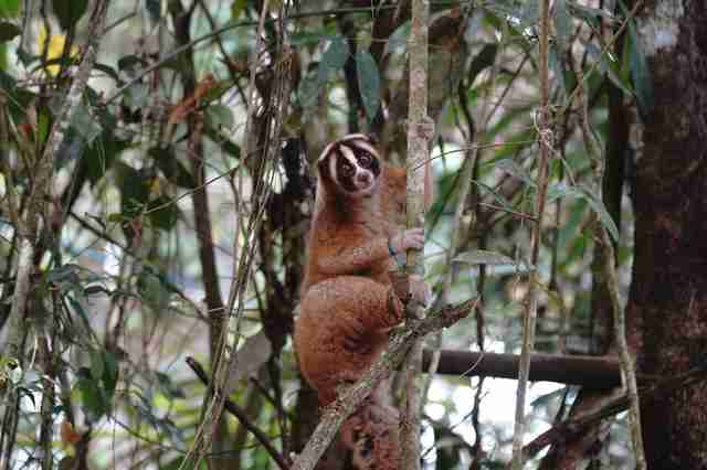 Rescued slow loris climbing tree