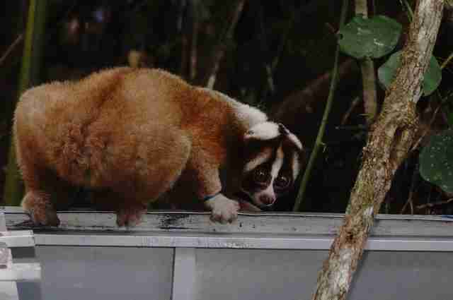 Slow loris crawling out of transport carrier