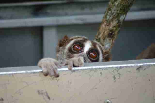 Slow loris peeking out of carrier