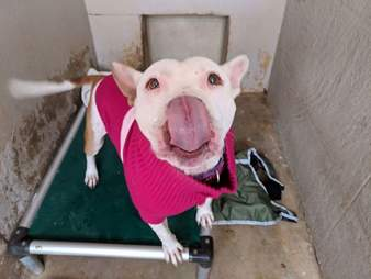 Dog in pink sweater in shelter kennel