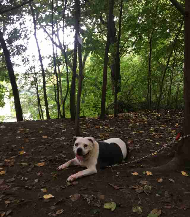 Pit bull, Mamas, abandoned in Prospect Park