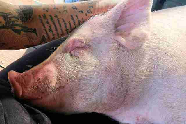 Pig relaxing in someone's lap