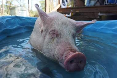 Pig wading in pool