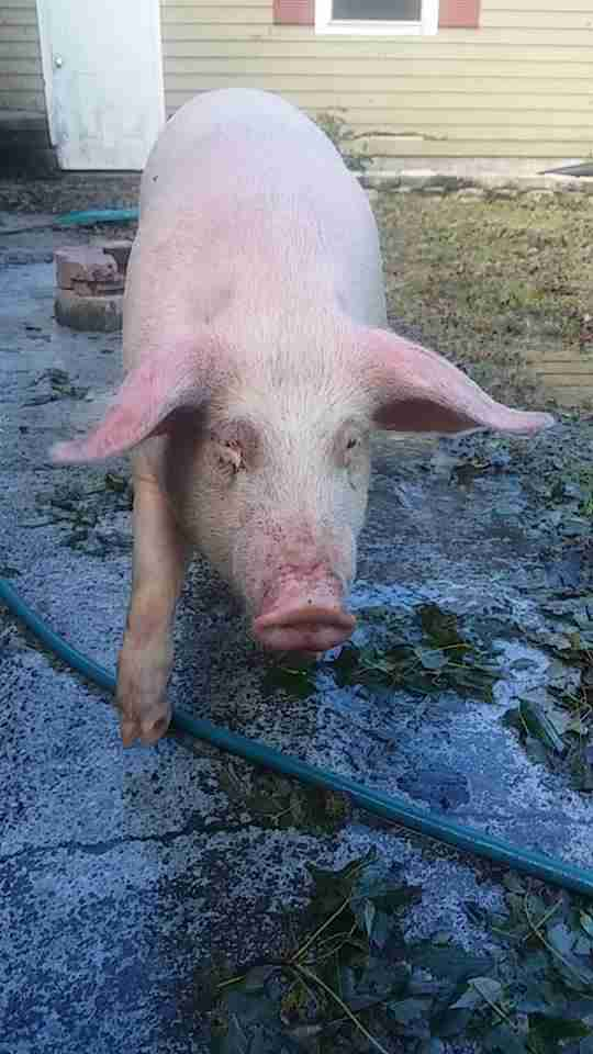 Pig running over wet driveway