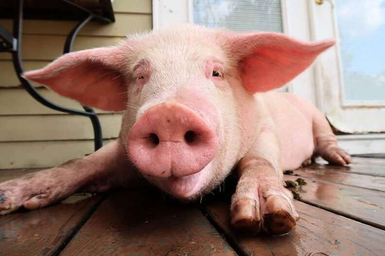Rescued pig sitting on wooden porch
