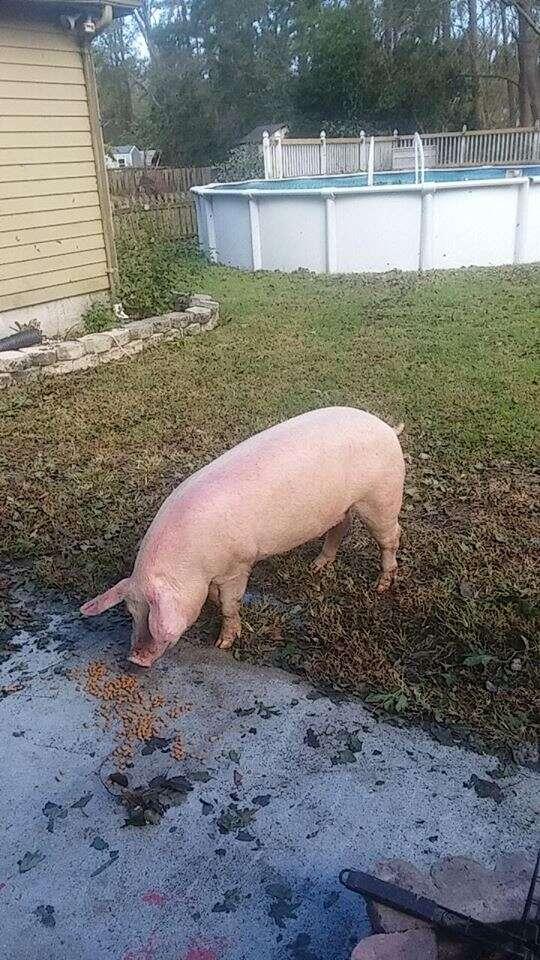 Pig standing near wet driveway
