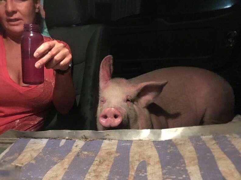 Pig riding inside car