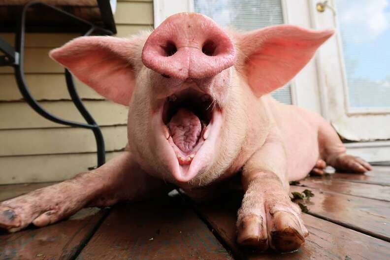 Pig with smiling open mouth