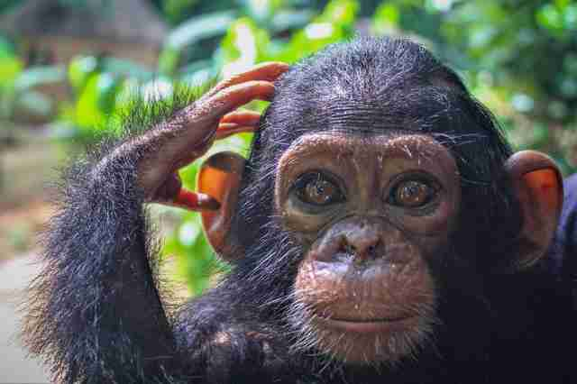 Orphaned baby chimp saved in Cameroon