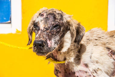 Dog with mange all over his body