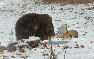 Fox approaching bear at sanctuary
