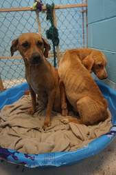 Bonded dogs sharing a bed in a shelter kennel