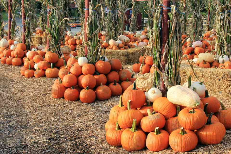 Best Pumpkin Patches Near Nyc Pumpkin Picking In Ny Nj And