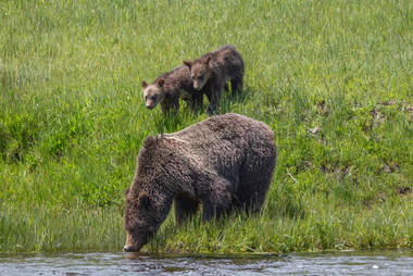 Grizzly bear family taking a drink of water in Yellowstone National Park