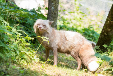 Pastel fox saved from fur farm in the Netherlands