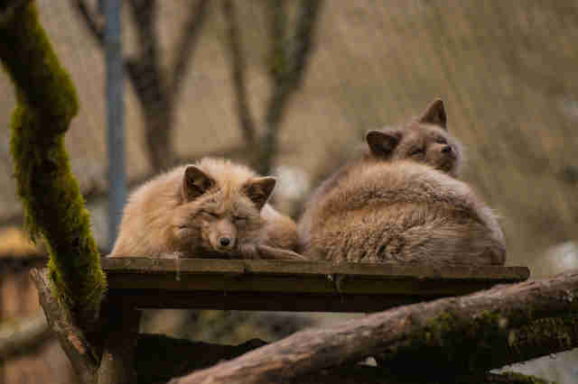 Fox couple snuggling at German sanctuary