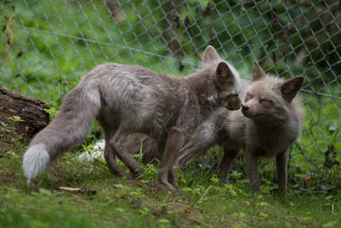 Rescued foxes kissing at sanctuary